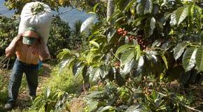 De aanplanting Guatemala van de koffie stock afbeeldingen