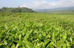 De Aanplanting Kameroen van de thee Stock Afbeeldingen