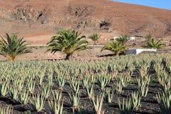 De aanplanting van aloëvera; Fuerteventura, Canarische Eilanden. Royalty-vrije Stock Foto's