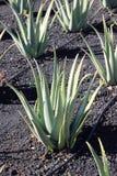 De aanplanting van aloëvera; Fuerteventura, Canarische Eilanden. Stock Foto