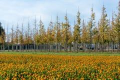 De aanplanting van bomen op boomkwekerij in Nederland, specialiseert zich in middel aan zeer grote bomen en kleurrijk bloembed me royalty-vrije stock foto's