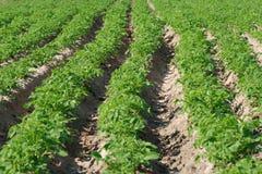 De aanplanting van de aardappel Stock Fotografie