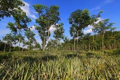 De aanplanting van de ananas en van de rubberboom Stock Foto