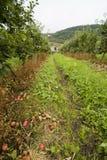 De aanplanting van de appel, Noorwegen. Royalty-vrije Stock Fotografie