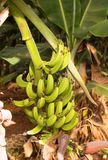 De Aanplanting van de banaan Stock Afbeeldingen