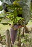 De Aanplanting van de banaan in Ecuador Stock Afbeeldingen