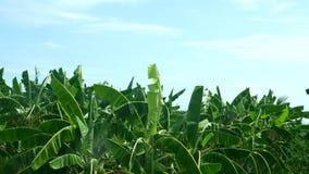De aanplanting van de banaanboom in landbouwbedrijf met daglicht en hoge wind 4k uhd 25fps stock video