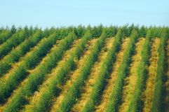 De aanplanting van de eucalyptus Royalty-vrije Stock Foto