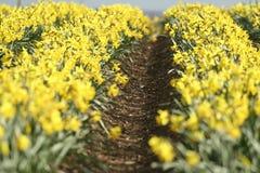 De aanplanting van de gele narcis Stock Afbeelding