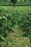 De aanplanting van de koffie Stock Foto's