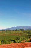 De Aanplanting van de koffie in Costa Rica royalty-vrije stock afbeeldingen