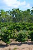 De aanplanting van de koffie in Queensland Royalty-vrije Stock Afbeeldingen
