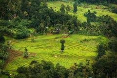 De aanplanting van de landschapsthee, Sri Lanka Stock Afbeelding
