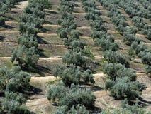 De aanplanting van de olijfboom Stock Fotografie