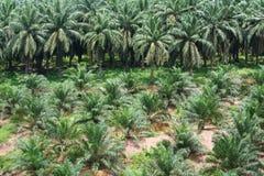 De aanplanting van de palmolie Stock Foto's