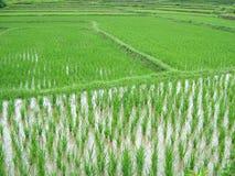 De aanplanting van de rijst royalty-vrije stock afbeelding