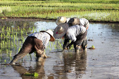 De aanplanting van de rijst in Thailand Royalty-vrije Stock Afbeeldingen