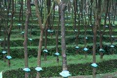 De Aanplanting van de rubberboom stock afbeeldingen