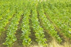 De Aanplanting van de tabak Royalty-vrije Stock Foto's