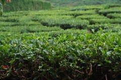 De aanplanting van de thee Royalty-vrije Stock Afbeeldingen