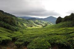 De aanplanting van de thee stock afbeelding