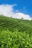 De aanplanting van de thee royalty-vrije stock afbeelding