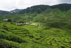 De aanplanting van de thee. Stock Afbeeldingen