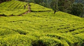 De aanplanting van de thee Stock Foto