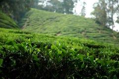 De aanplanting van de thee Stock Afbeeldingen