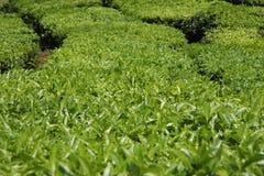 De aanplanting van de thee Stock Foto's