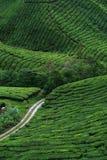 De Aanplanting van de thee Stock Fotografie
