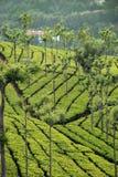 De aanplanting van de thee royalty-vrije stock foto