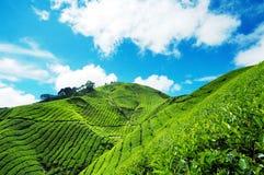 De Aanplanting van de thee in Cameron Highland Stock Afbeelding