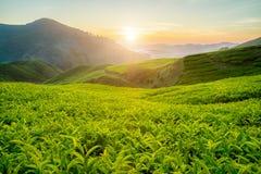 De Aanplanting van de thee in Cameron Highlands, Maleisië royalty-vrije stock afbeelding