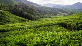 De Aanplanting van de thee in Cameron Highlands, Maleisië stock foto's