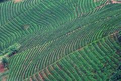 De Aanplanting van de thee door georiënteerde berg Stock Foto