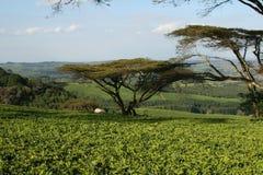 De aanplanting van de thee in Malawi, Afrika Royalty-vrije Stock Fotografie