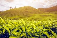 De aanplanting van de thee in Maleisië Stock Afbeelding