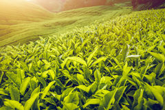 De aanplanting van de thee in Maleisië Royalty-vrije Stock Foto