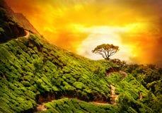 De aanplanting van de thee in Munnar Royalty-vrije Stock Foto