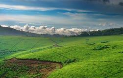 De aanplanting van de thee in Oeganda royalty-vrije stock afbeelding