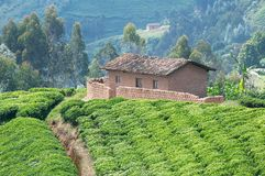 De aanplanting van de thee in Rwanda Royalty-vrije Stock Fotografie