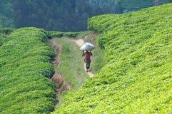 De aanplanting van de thee in Rwanda stock afbeeldingen