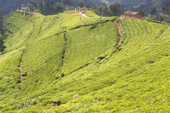 De aanplanting van de thee in Rwanda Stock Fotografie