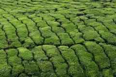 De Aanplanting van de thee - sluit omhoog stock afbeelding