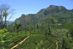 De aanplanting van de thee, Sri Lanka Royalty-vrije Stock Foto