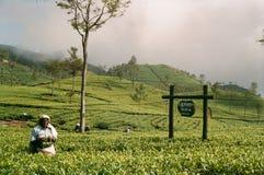 De aanplanting van de thee in Sri Lanka Stock Afbeelding