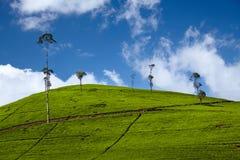 De aanplanting van de thee in Sri Lanka Stock Foto