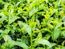 De aanplanting van de thee in Thailand Royalty-vrije Stock Afbeeldingen