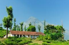 De aanplanting van de thee in Wayanad Stock Fotografie